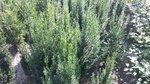 Taxus fastigiata