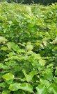 groene beuk, fagus sylvatica 150/175