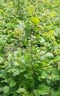 Groene-beukenhaag-Fagus-Sylvatica125-150cm