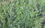 Taxus-baccata-haag-40-50-cm