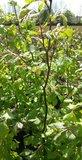 Groene beukenhaag, Fagus Sylvatica,100-125cm_