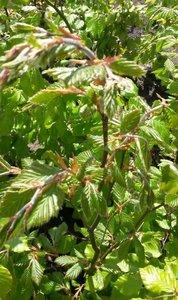 Groene beukenhaag, Fagus Sylvatica, 60-80 cm