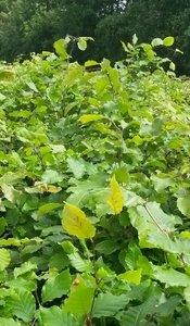 groene beuk, fagus sylvatica 100/125