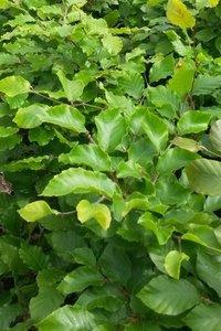 Groene beukenhaag, Fagus Sylvatica, 40-60 cm