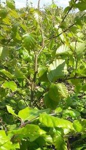 Groene beukenhaag, Fagus Sylvatica, 80-100 cm