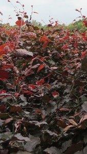 Rode beuk,Fagus Sylvatica Atrop.125-150 cm