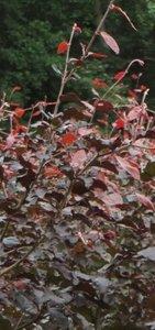 Rode beuk,Fagus Sylvatica Atrop.150-175 cm
