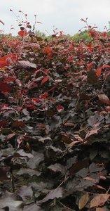 Rode beuk,Fagus Sylvatica Atrop.175-200 cm